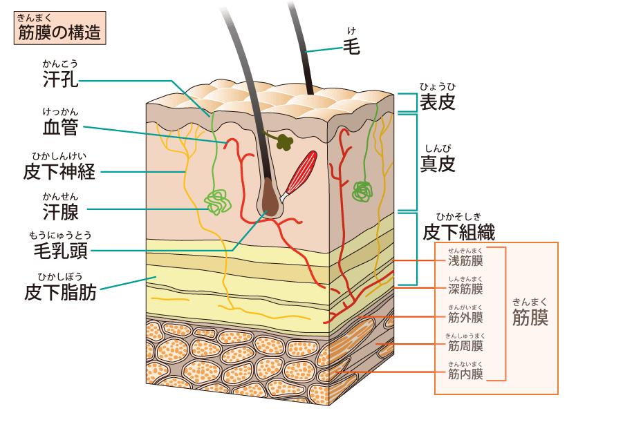 筋膜の構造_筋膜リリース
